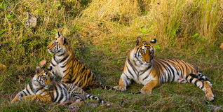 Mother and cub wild Bengal tiger in the grass. India. Bandhavgarh National Park. Madhya Pradesh. A stock photos