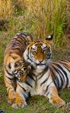 Mother and cub wild Bengal tiger in the grass. India. Bandhavgarh National Park. Madhya Pradesh. stock photos