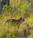 Mother and cub wild Bengal tiger in the grass. India. Bandhavgarh National Park. Madhya Pradesh. Stock Image