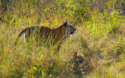 Mother and cub wild Bengal tiger in the grass. India. Bandhavgarh National Park. Madhya Pradesh. stock images