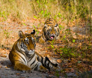 Mother and cub wild Bengal tiger in the grass. India. Bandhavgarh National Park. Madhya Pradesh. royalty free stock images