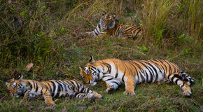 Mother and cub wild Bengal tiger in the grass. India. Bandhavgarh National Park. Madhya Pradesh. royalty free stock photos