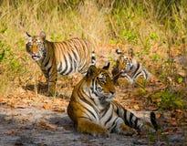 Mother and cub wild Bengal tiger in the grass. India. Bandhavgarh National Park. Madhya Pradesh. royalty free stock image