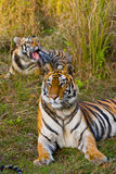 Mother and cub wild Bengal tiger in the grass. India. Bandhavgarh National Park. Madhya Pradesh. stock photography