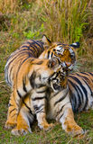 Mother and cub wild Bengal tiger in the grass. India. Bandhavgarh National Park. Madhya Pradesh. An excellent illustration royalty free stock images