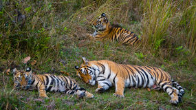 Mother and cub wild Bengal tiger in the grass. India. Bandhavgarh National Park. Madhya Pradesh. An excellent illustration royalty free stock image