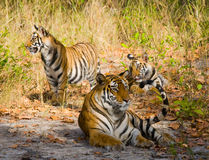 Mother and cub wild Bengal tiger in the grass. India. Bandhavgarh National Park. Madhya Pradesh. An excellent illustration stock images