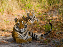 Mother and cub wild Bengal tiger in the grass. India. Bandhavgarh National Park. Madhya Pradesh. An excellent illustration stock photos