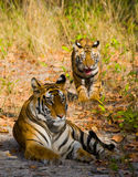 Mother and cub wild Bengal tiger in the grass. India. Bandhavgarh National Park. Madhya Pradesh. An excellent illustration royalty free stock photo
