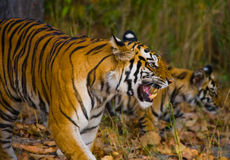 Mother and cub wild Bengal tiger in the grass. India. Bandhavgarh National Park. Madhya Pradesh. Stock Photo