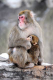 Mother and cub, winter. Japanese macaques. Group p. Rimacies Royalty Free Stock Images