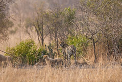 Cheetah family Stock Photography