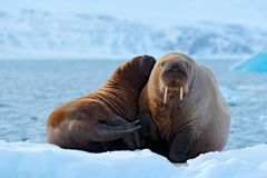 Mother with cub. Young walrus with female. Winter Arctic landscape with big animal. Family on cold ice. Walrus, Odobenus rosmarus,. Stick out from blue water on stock image