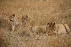Mother and cubs in the Masai Mara Stock Photography