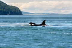 Mother Cubs Orcas Stock Image