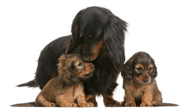 Mother Dachshund, 4 years old, and her puppies. 5 weeks old, in front of white background Stock Photo