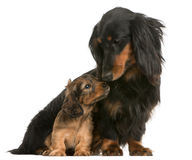 Mother Dachshund, 4 years old, and her puppy Stock Photography