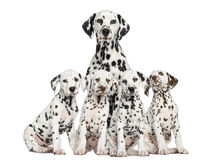 Mother Dalmatian sitting behind her puppies Stock Images