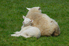 Mother and daughter. Sheep and lamb on the Hallig Hooge in germany, europe Stock Images