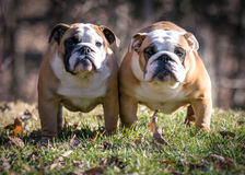 Mother and daughter bulldogs outside Royalty Free Stock Image