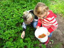 Mother and daughter collect strawberry on a bed Stock Images