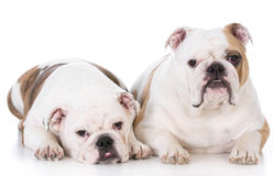 Mother and daughter dogs Stock Images