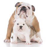 Mother and daughter dogs Stock Image