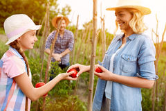 Mother with daughter gathering freshly picking tomatoes Royalty Free Stock Image