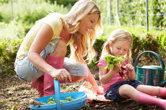 Mother And Daughter Harvesting Radish On Allotment. Outdoors Having Fun Stock Photography