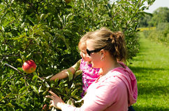 Mother and daughter in orchard. Picking apples in orchard Royalty Free Stock Image