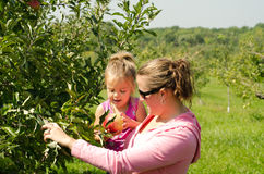 Mother and daughter in orchard. Happy mother and daughter picking apples in orchard, summer scene Stock Photo
