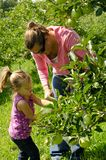 Mother and daughter picking apples. A mother and daughter picking green apples Royalty Free Stock Images