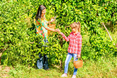 Mother and  Daughter  picking clementines Stock Image