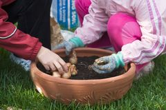 Mother and daughter planting tulips. Family time outside in the garden by planting spring bulbs together into container during autumn stock photography