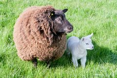 Mother and daughter sheep one brown one white royalty free stock photos