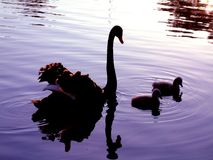 Mother & Daughters. A mother and her two signets cruising around on dusk Stock Photo