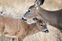 Mother Deer and Baby Fawn Stock Photography