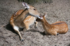 Mother deer cleans the calf`s ear Stock Photo