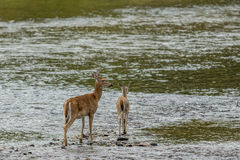 Mother deer and doe in water. Royalty Free Stock Photos