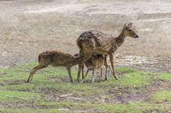 Mother deer feeding baby deers. Mother deer feeding two baby deers royalty free stock photography