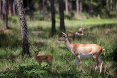 Mother deer and her fawn Royalty Free Stock Photos