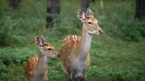Mother deer and her fawn are standing in the forest. Roe deer, capreolus capreolus, doe feeding and looking around on