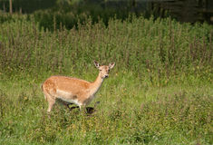 Mother deer with hidden foal Royalty Free Stock Image