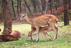 Mother deer standing and little baby deer drinking her milk royalty free stock photos