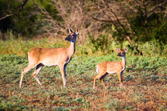 Mother Doe and Fawn Royalty Free Stock Photography