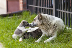 Mother dog with baby puppies, A cute puppy, a dog, dog - focus. On front - blurred background royalty free stock images