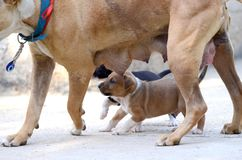 Mother dog and Cute amstaff puppy