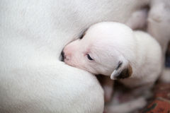 Mother dog with cute little puppy Stock Image