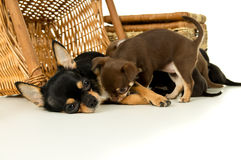Mother dog feeding chihuahua puppies Royalty Free Stock Photo