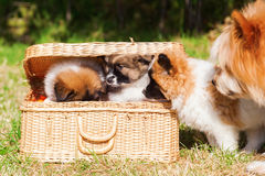 Mother dog inspect her puppies in a basket Royalty Free Stock Photography
